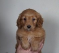 Puppy 4 Golden Retriever-Poodle (Toy) Mix