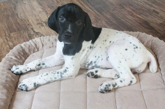 German Shorthaired Pointer Puppy For Sale near 97008, Beaverton, OR, USA