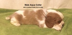 Cavalier King Charles Spaniel Puppy For Sale in SMITHVILLE, MS, USA