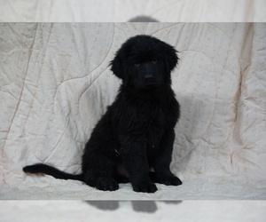 Golden Shepherd Puppy for sale in FREDERICKSBG, OH, USA