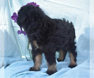 Australian Shepherd-Poodle (Miniature) Mix Dog for Adoption in MILLERSBURG, Ohio USA