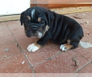 English Bulldogge Puppy for sale in WARRENTON, MO, USA