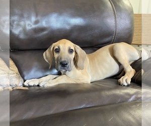 Great Dane Dog for Adoption in CLOVER, South Carolina USA