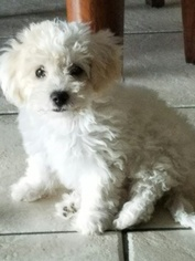 Poochon Puppy for sale in GLENDALE, AZ, USA