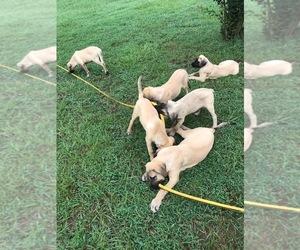 Mastiff Puppy for sale in BLOUNT SPRINGS, AL, USA