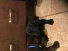 Labrador Retriever Puppy For Sale in BEDFORD, IN