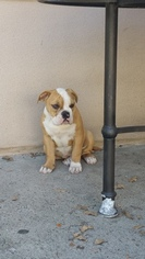 English Bulldog Puppy For Sale in WESTMINSTER, CA, USA
