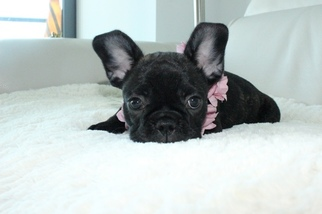 French Bulldog Puppy For Sale in MIAMI, FL