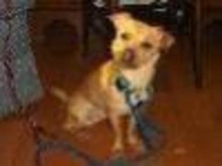 BEAU - Chihuahua Dog For Adoption