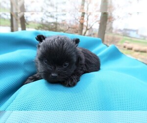 Shiranian Puppy for sale in SOUTH BEND, IN, USA