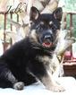 German Shepherd Dog Puppy For Sale in ROANOKE, TX
