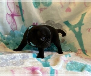 Pug Puppy for sale in TALALA, OK, USA
