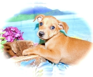 Chipin Puppy for Sale in HAMMOND, Indiana USA