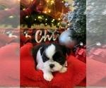Puppy 5 Shih Tzu