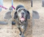 Small #31 Neapolitan Mastiff