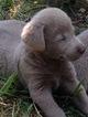Labrador Retriever Puppy For Sale in OLYMPIA, WA,