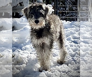 Schnauzer (Miniature) Puppy for Sale in CAMBRIDGE, Massachusetts USA
