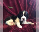 Puppy 3 English Springer Spaniel