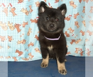 Pomsky Puppy for Sale in CARTHAGE, Texas USA