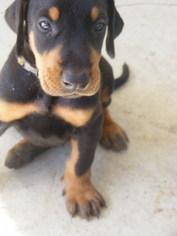 Doberman Pinscher Puppy For Sale in FRUITLAND PARK, FL, USA