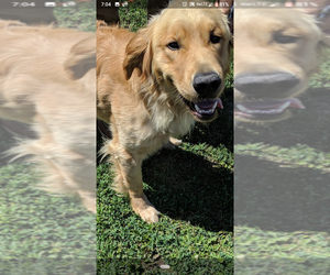 Golden Retriever Dog for Adoption in ATHOL, Idaho USA