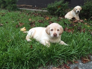 View Ad Labrador Retriever Puppy For Sale Georgia Smyrna Usa