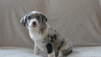 Australian Shepherd Puppy For Sale in KENSINGTON, OH, USA
