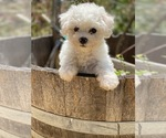 Puppy 1 Bichon Frise