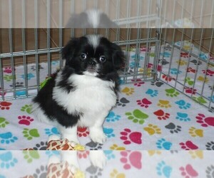 Japanese Chin Dog for Adoption in ORO VALLEY, Arizona USA