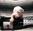 Puppy 6 Dogo Argentino