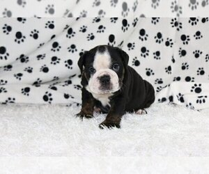 English Bulldog Puppy for sale in GLENVILLE, CT, USA