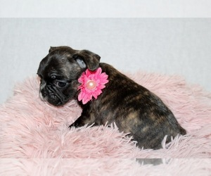 French Bulldog Puppy for sale in LIMESTONE, TN, USA