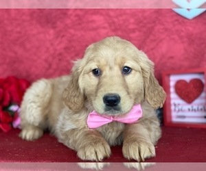 Golden Retriever Puppy for sale in LANCASTER, PA, USA