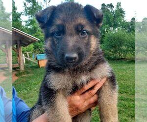 German Shepherd Dog Puppy for sale in SCOTTS HILL, TN, USA
