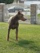 Doberman Pinscher Puppy For Sale in FONTANA, CA, USA
