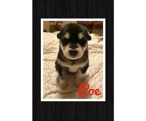 Alaskan Malamute Puppy for Sale in IGNACIO, Colorado USA