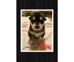 Alaskan Malamute Puppy For Sale in IGNACIO, CO, USA