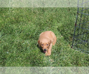 Golden Retriever Puppy for sale in BIG BEND, CO, USA