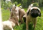 Puginese Puppy For Sale in WESTMORELAND, NH, USA
