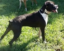 Boxer Puppy For Sale in PALMETTO, FL, USA