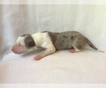 Puppy 5 Border Collie