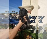 Small #3 American Pit Bull Terrier-Cane Corso Mix
