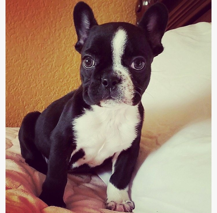 View Ad: French Bulldog Puppy for Sale near Sweden