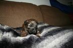 Soft Coated Wheaten Terrier Puppy Mars