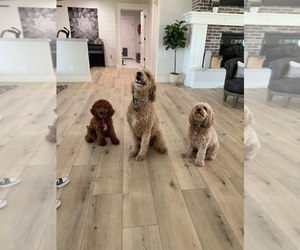 Cavapoo-Goldendoodle Mix Puppy for Sale in QUEEN CREEK, Arizona USA