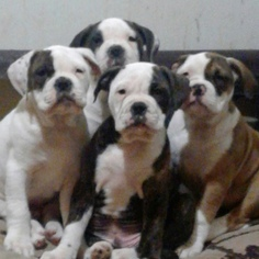 Olde English Bulldogge Puppy For Sale in ROCHESTER, NY, USA
