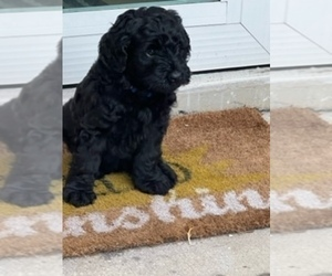 Aussiedoodle-Labradoodle Mix Puppy for Sale in SEMINOLE, Florida USA