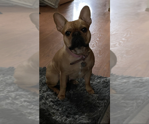 Mother of the French Bulldog puppies born on 01/18/2021