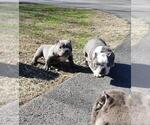 Small Photo #8 American Bully-American Pit Bull Terrier Mix Puppy For Sale in DRACUT, MA, USA