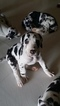 Great Dane Puppy For Sale in SAINT LOUIS, MO, USA